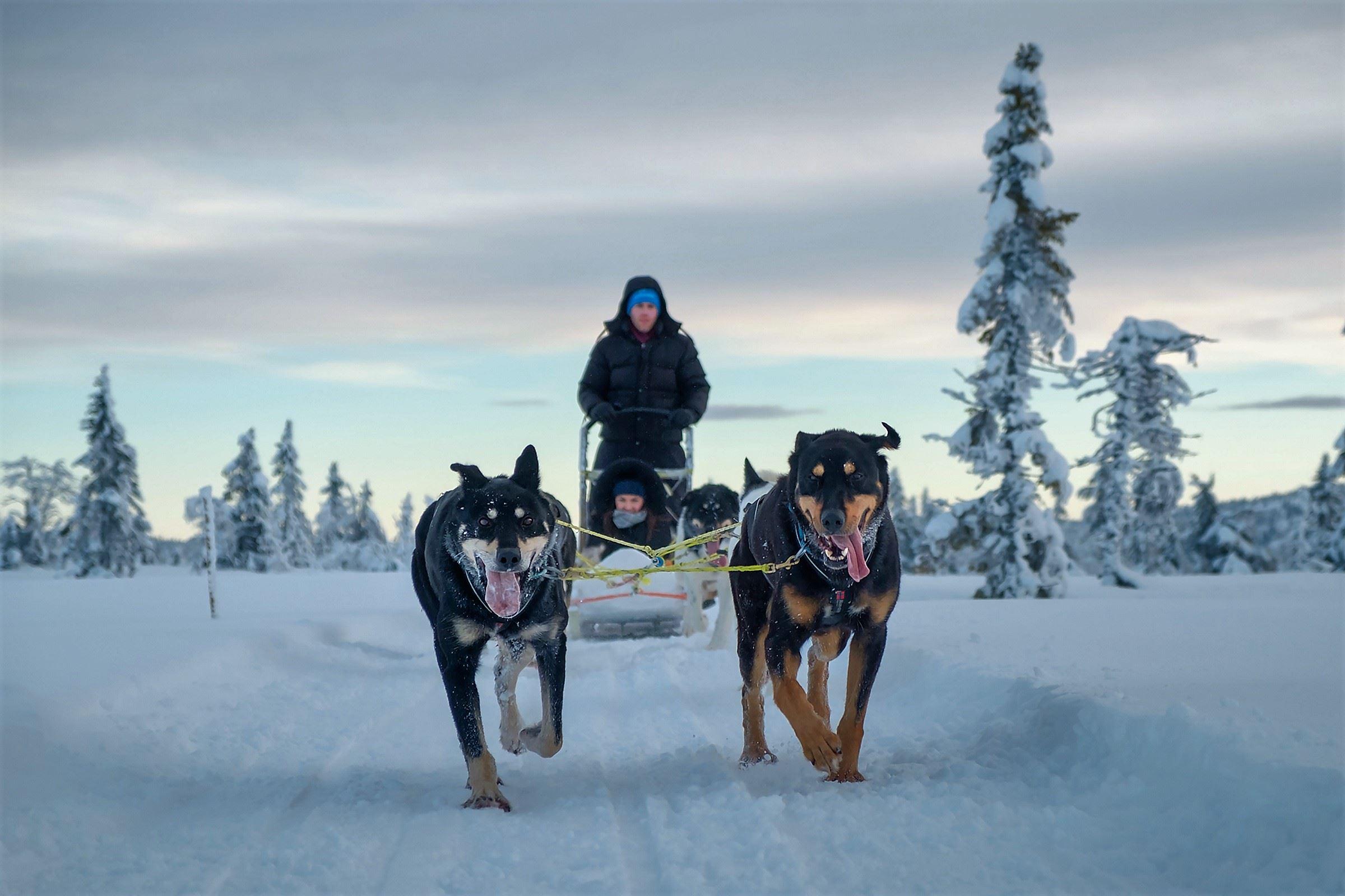 Dog sledding with happy and strong alaska huskies