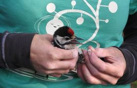 Föredrag - Ringmärkning av fåglar i Bingsmarken