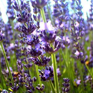 Excursion Lavender Tour Sault - LTS