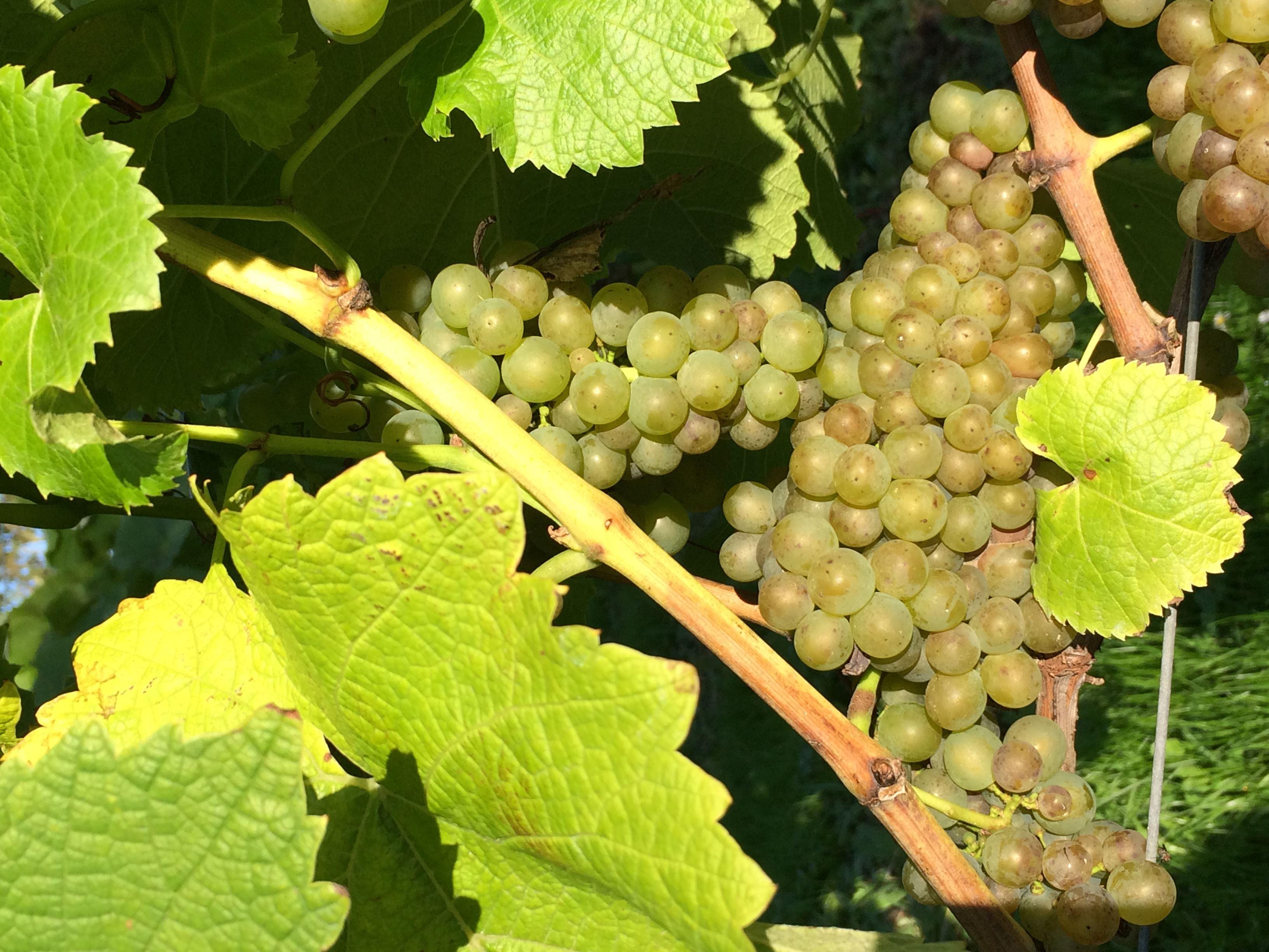 Sydhavsøernes Food Week: Østergaard Vinmageri og Oreby Vineri - Middag