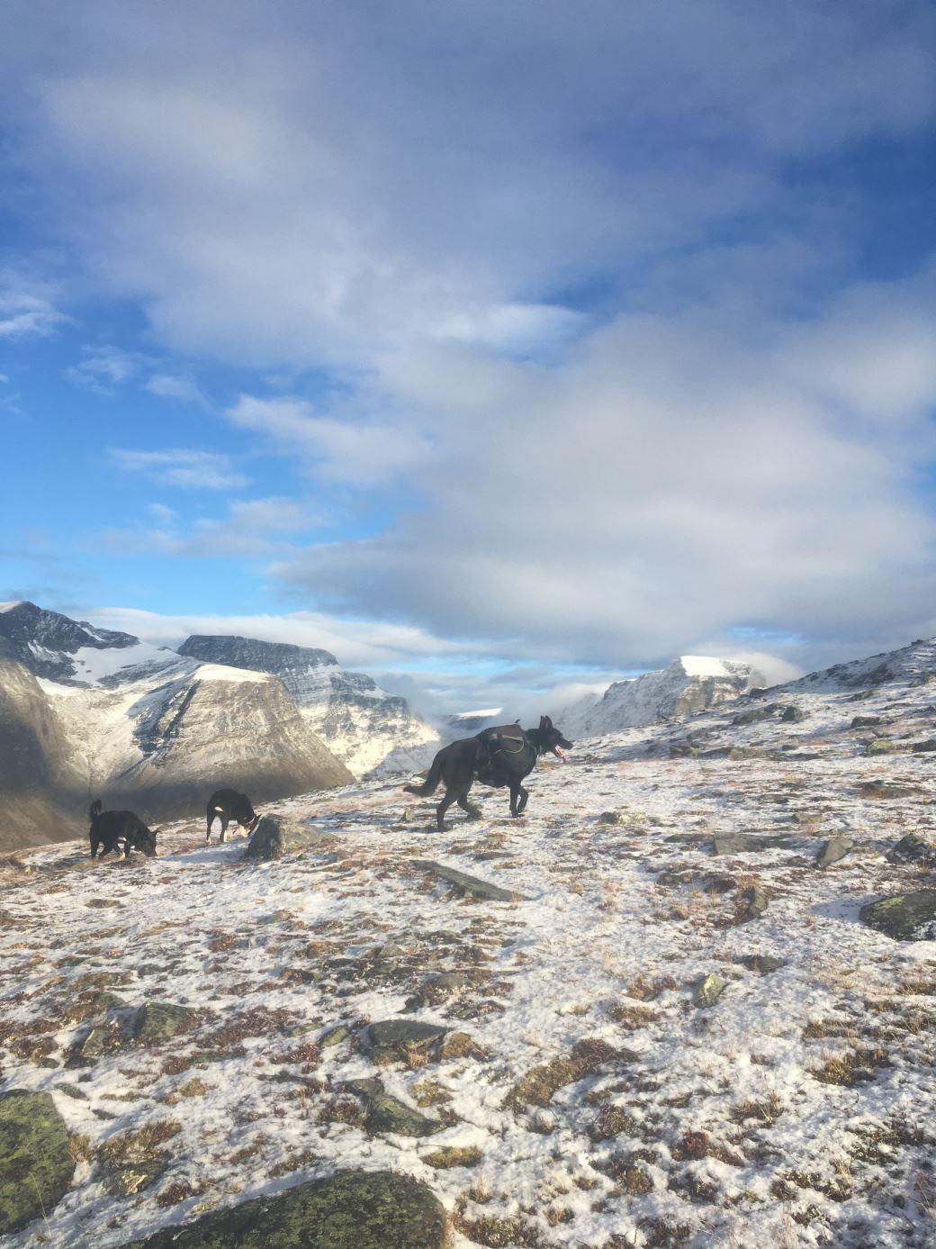 Bergbjørn Fjellservice,  © Bergbjørn Fjellservice, Fjelløping med husky og kløv - Bergbjørn Fjellservice