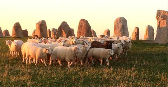 Herdevandring/Shepherd walks