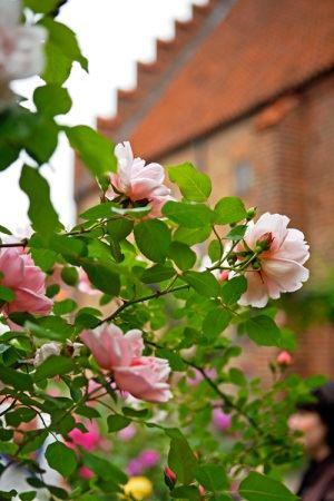 Lucas Gölén,  © Lucas Gölén, Klostret i Ystad med rosor