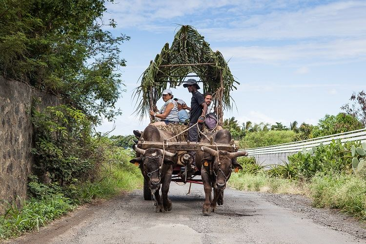 Saint-Pierre: Oxcart ride