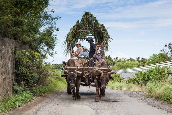 Saint-Pierre: Oxcart ride