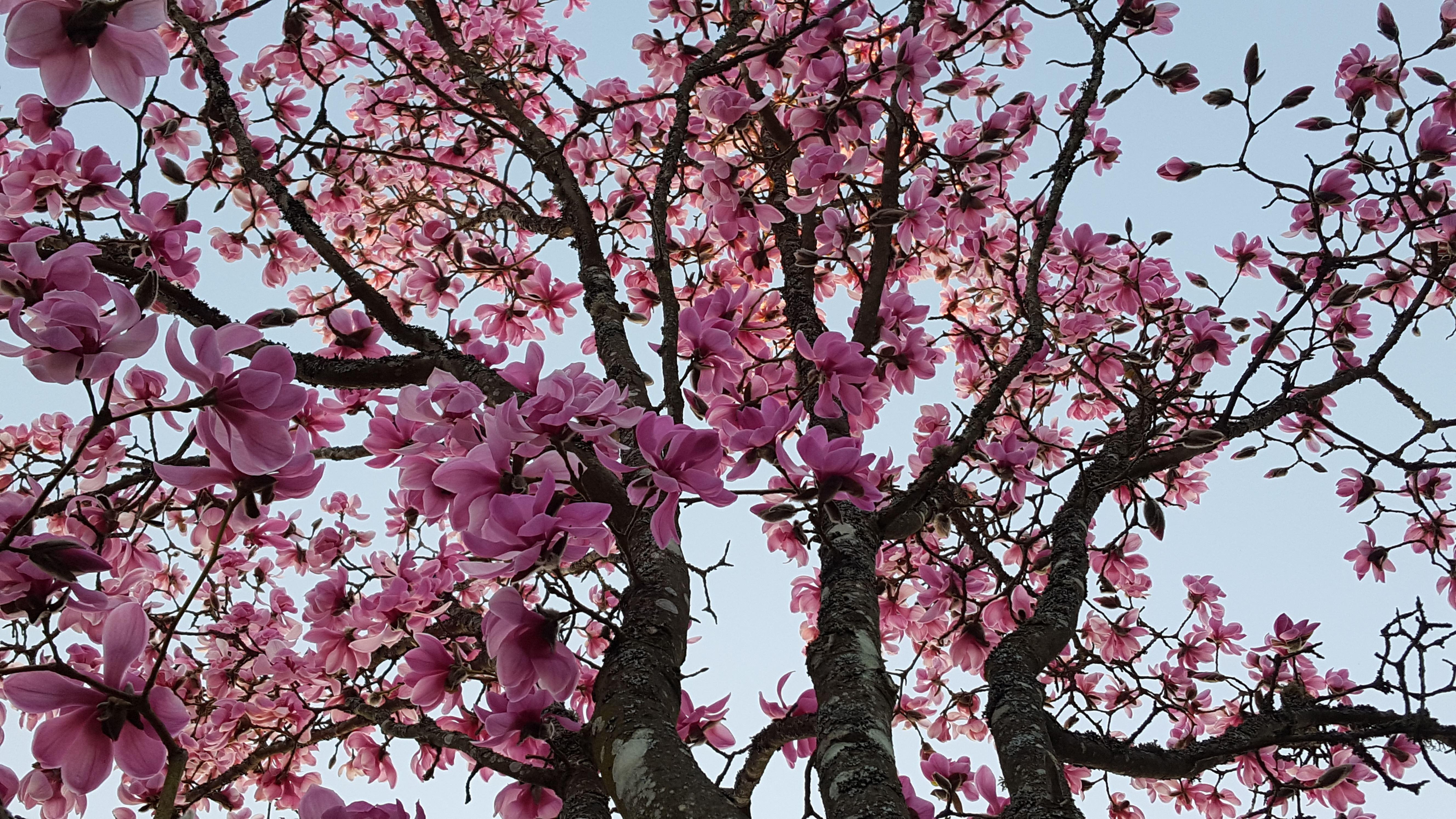 Magnus Carlström,  © Magnus Carlström, Träd i blomning