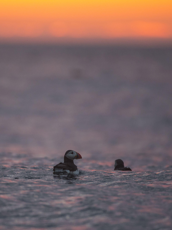 Marten Bril,  © Sea Safari Andenes, Combines midnight sun trip - Sea Safari Andenes