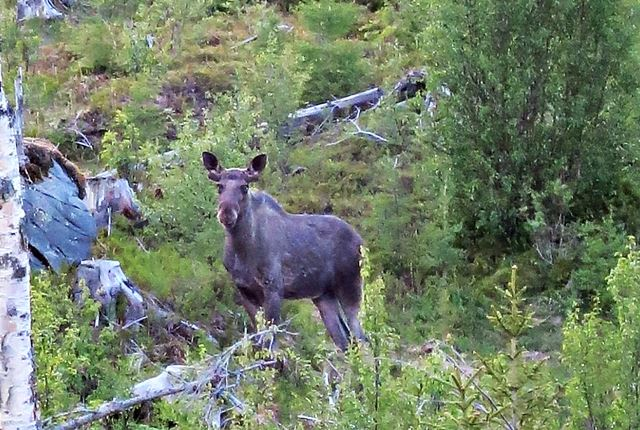 Join us on Moose Safari in Åre
