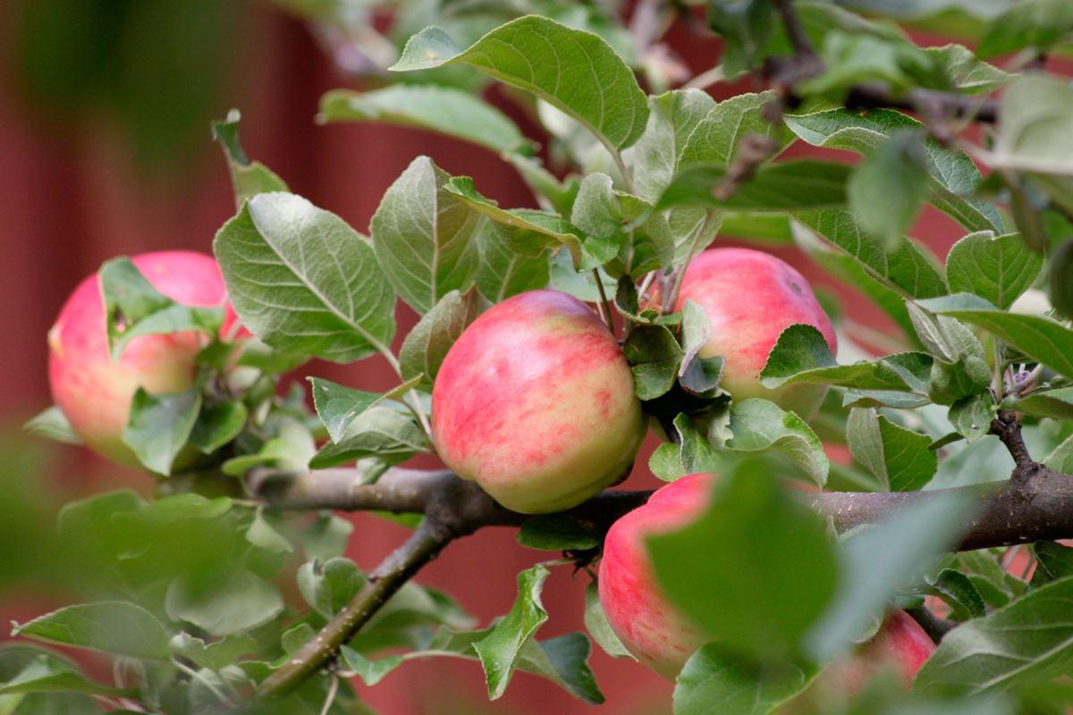 En vandring i 1800-talets trädgårdshistoria med frukttema