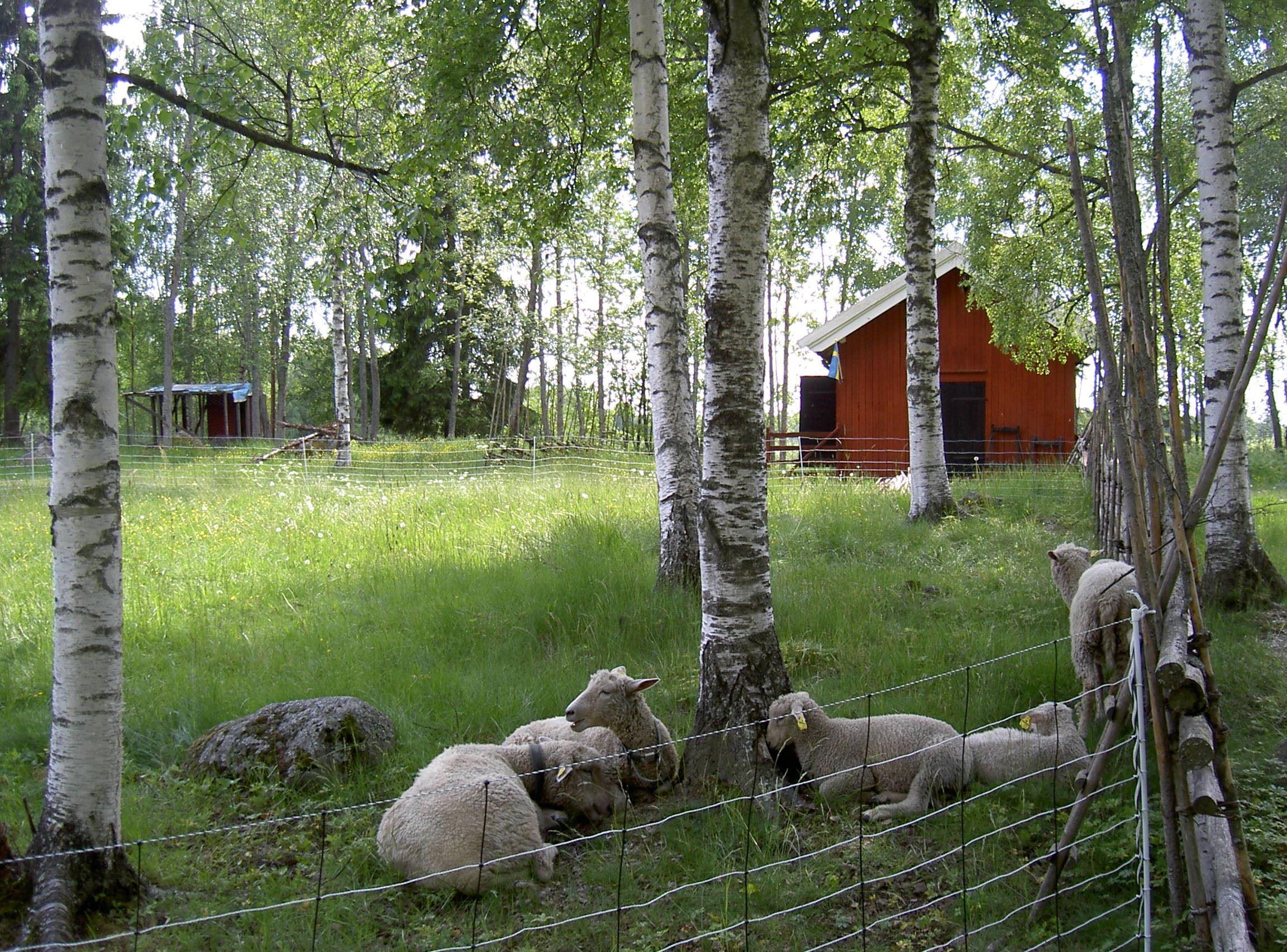 Sommaröppet på Slars-Ollas fäbodar