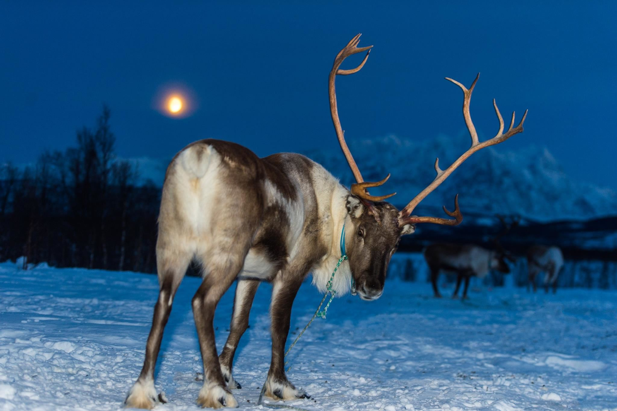 Reindeer Feeding and Northern Lights