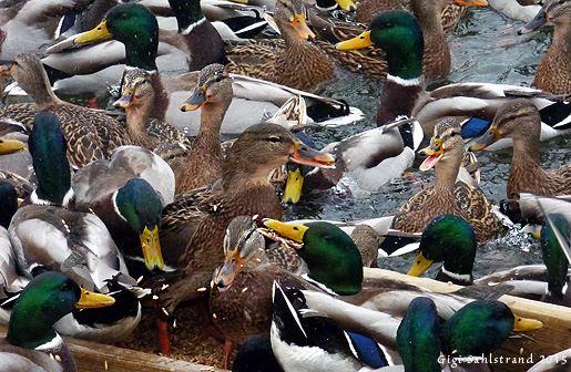 Fågelguidning runt Tjärhovet och Kalmar slott