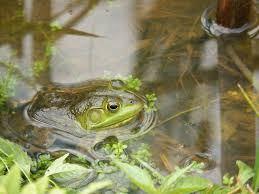 Natursnok och för alla - Grodor och salamandrar