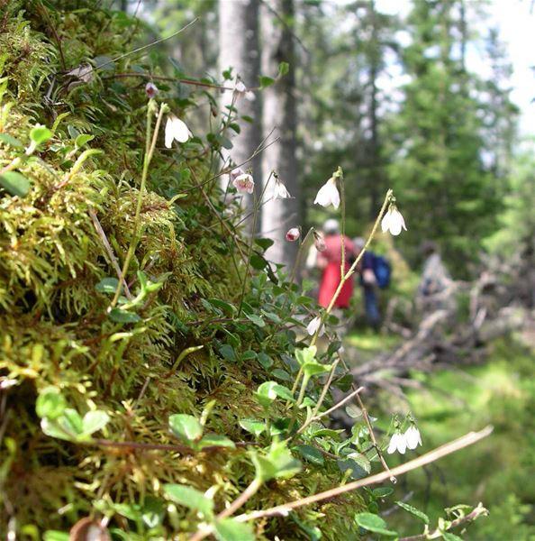 Mossa och små blommor.