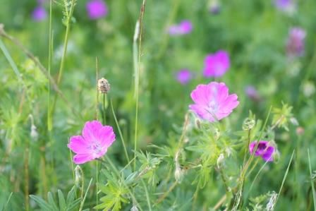 blommornas dag, bergsjö, knoppe, vandring, natur,  © blommornas dag, bergsjö, knoppe, vandring, natur, blommornas dag, bergsjö, knoppe, vandring, natur