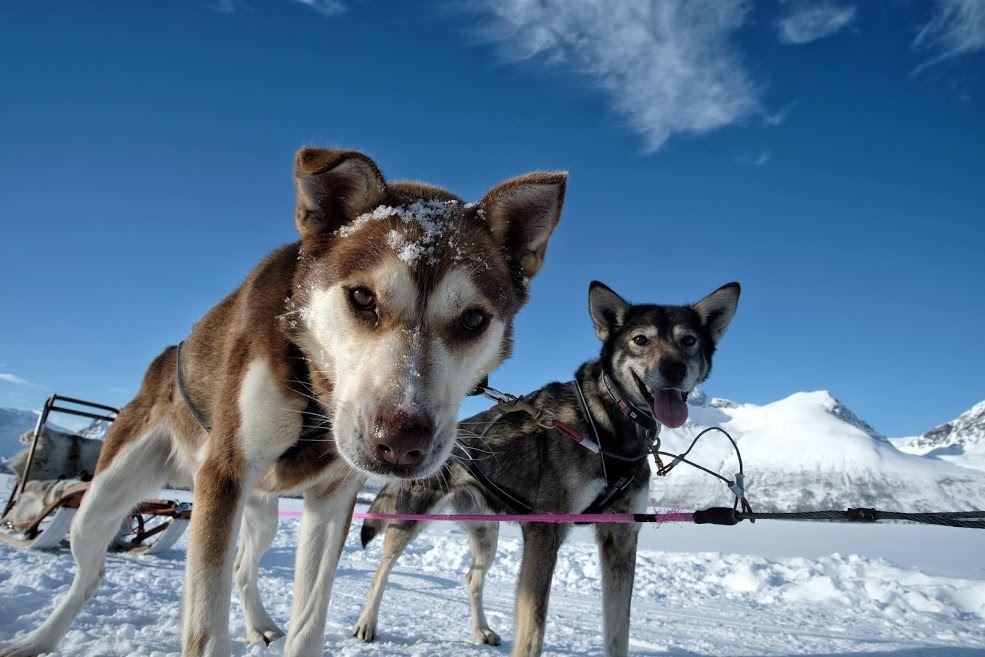 Husky Safari - Experience Tromsø