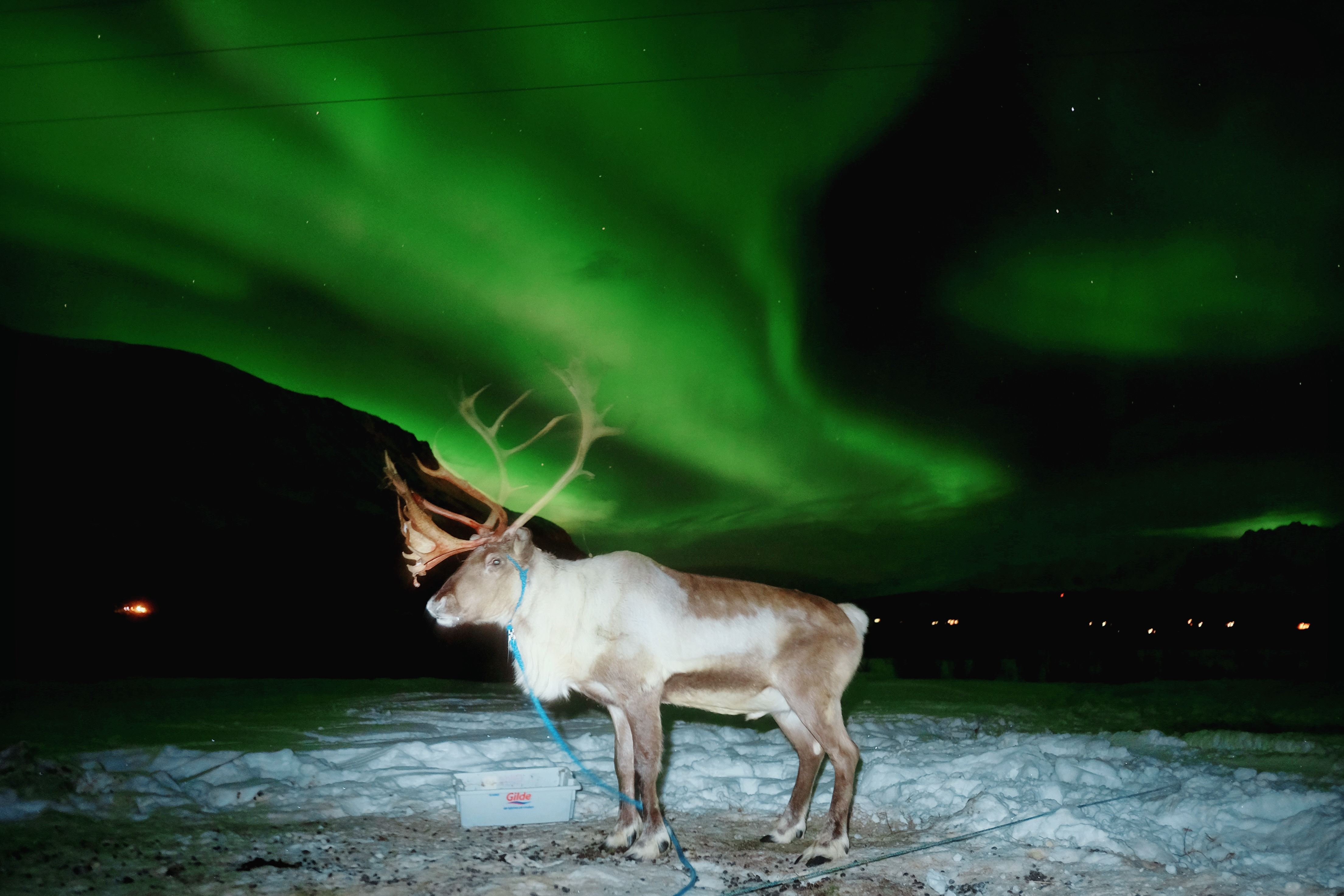 Reindeer feeding and Northern lights - Tromsø Lapland