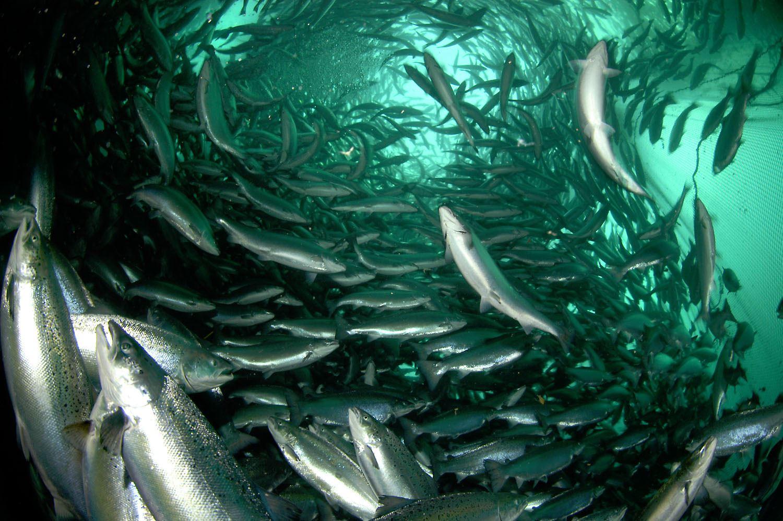 Akvakultur i Vesterålen,  © Akvakultur i Vesterålen, Lødingen Skyssbåtservice - Besøk et oppdrettsanlegg