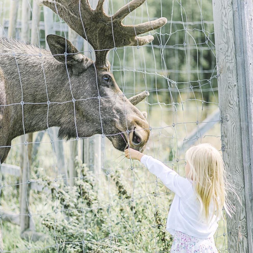 Foto: Ida Bygdén Photography,  © Visit Umeå, Flicka matar älgtjur hos Älgens Hus