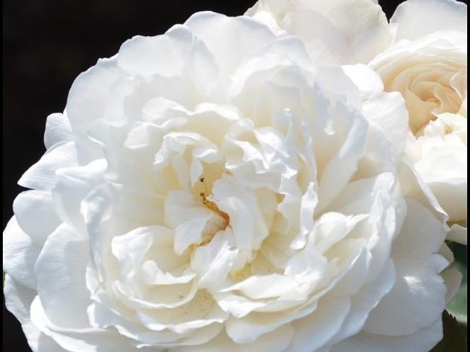 Rosor och Klematisdagar Bäsna Trädgård
