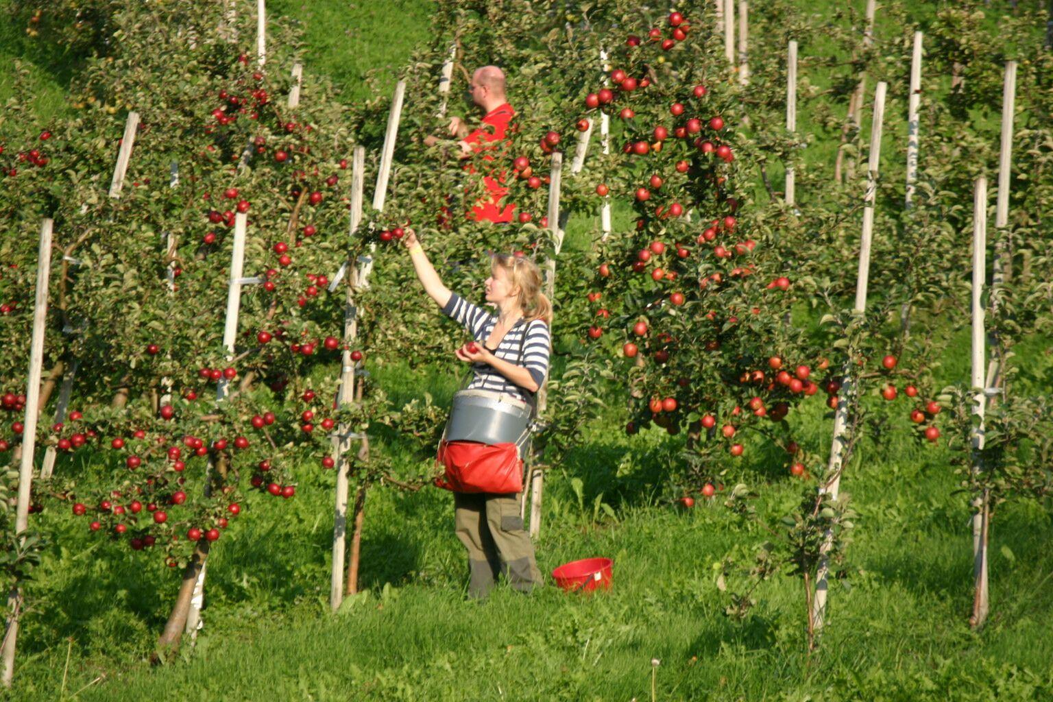 © Anne Marie Øydvin, Travel like the locals - picking apples in Hardanger