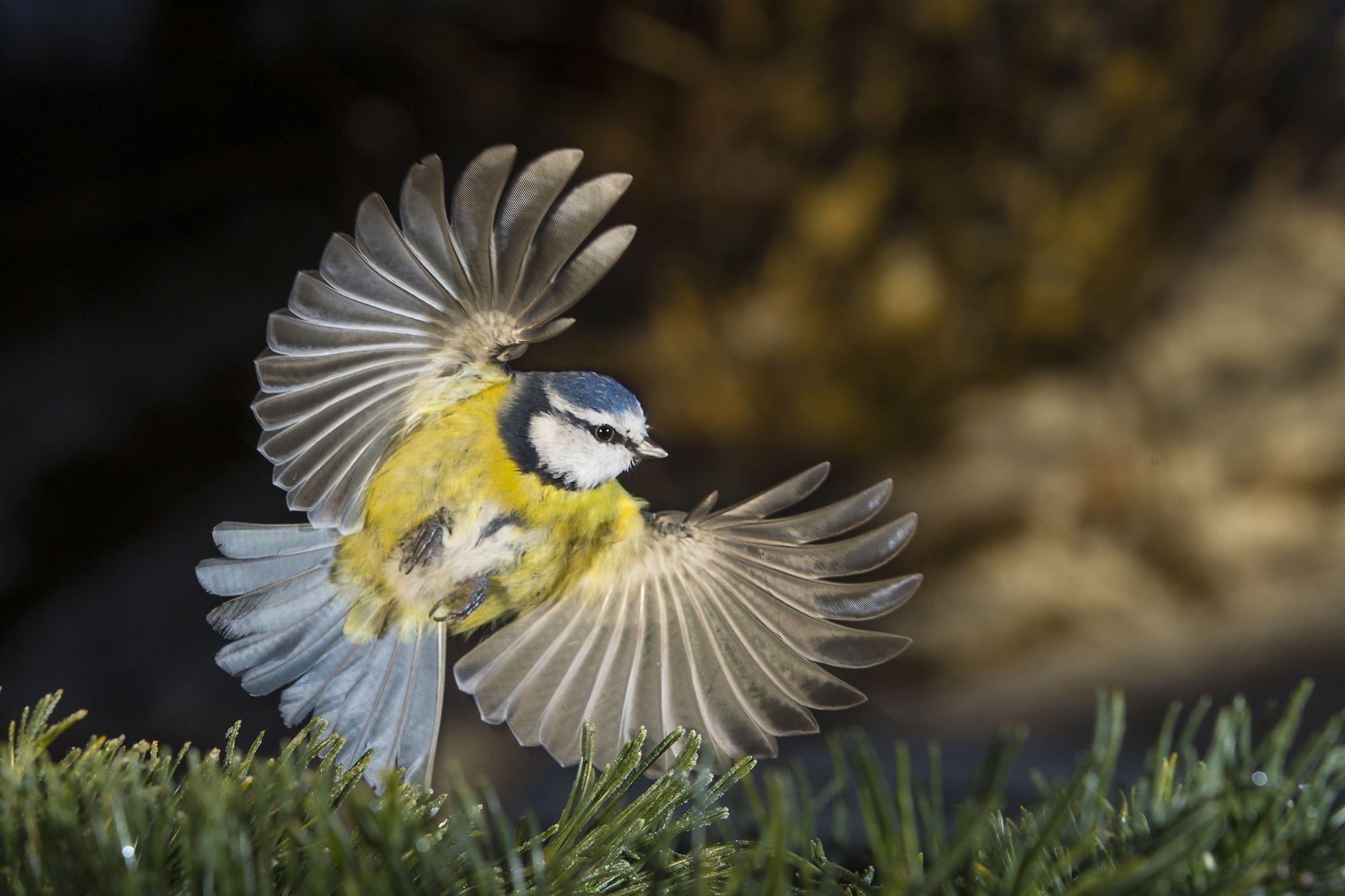 Gunnar Aus/Naturfotograferna., Blåmes fångad på bild i ett vingslag.
