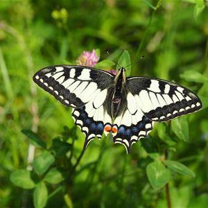 Fjärilskådning