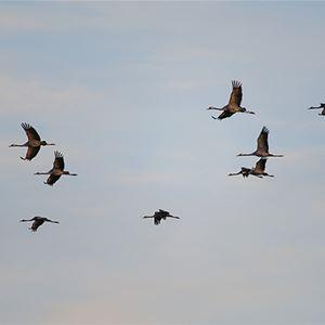 Rovfåglar och lite tranor