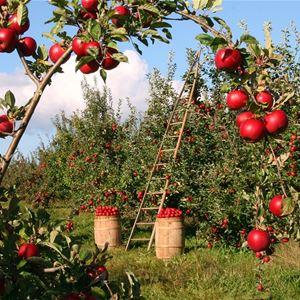 Skörde- och växtmarknad, Äpplets dag