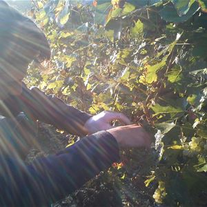 Grape Picker for a day - Champagne Pierre Pinard