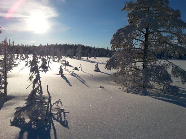 Vinterlandskap med orörd snö, granar och sol på blå himmel.