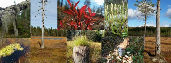 Collage med flera bilder på myrar och växter.