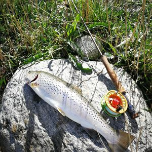 Sea trout fly fishing from the coast of Als including accommodation