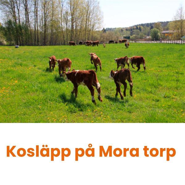 Kosläpp på Mora torp