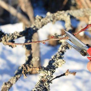 Beskärning av fruktträd och bärbuskar, Stjärnsund