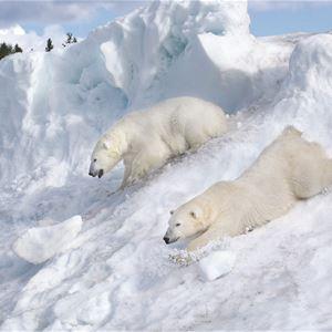 Isbjörnens dag