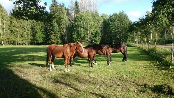 Etisk hästhållning. Att förstå varelsen häst och dess behov