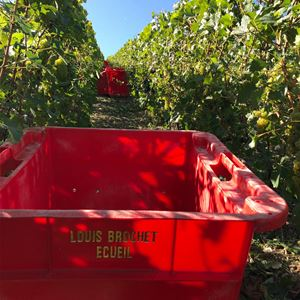 Grape Picker for a day - Champagne Louis Brochet