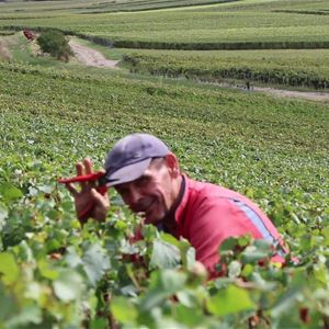 Grape picker for a day – Champagne Philippe Dechelle