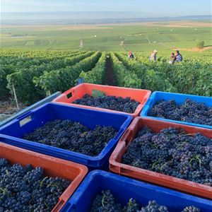 Grape picker for a day – Champagne Guy Méa