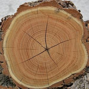 Årsringar träd