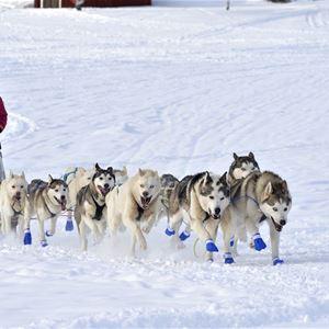 Springande hundar