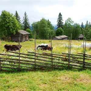 Kor på bete.