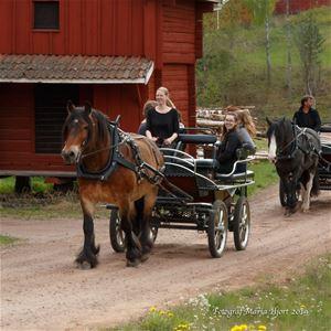 Brun och svart häst som drar varsin vagn med passagerare.
