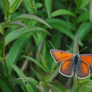 Fjärilsvandring