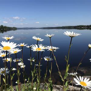 Vita blommor som är i fokus med sjön bakom sig.