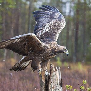 © Mostphotos/Mats Lindberg, Kungsörn som landar på en gren.
