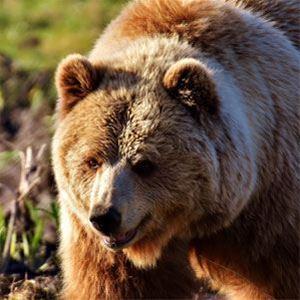 Stor brunbjörn som går mot kameran.