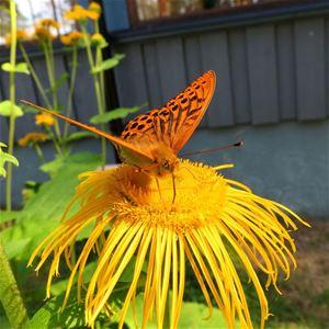 Fjäril som sitter på en gul blomma.
