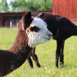 Bokningsbar aktivitet - besök Väddö alpackagård